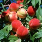 Саженцы колоновидных деревьев, крупномеров которые способствуют улучшению вида дома